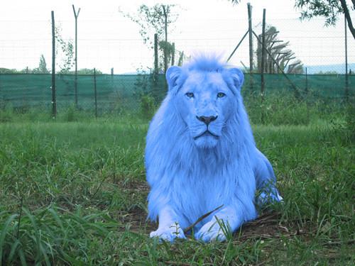 Leo Azul Blue lion  Trabalho de Photoshop em cima da
