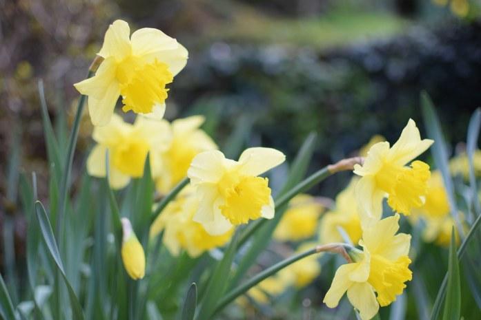 Narcisos en flor en Belcastel