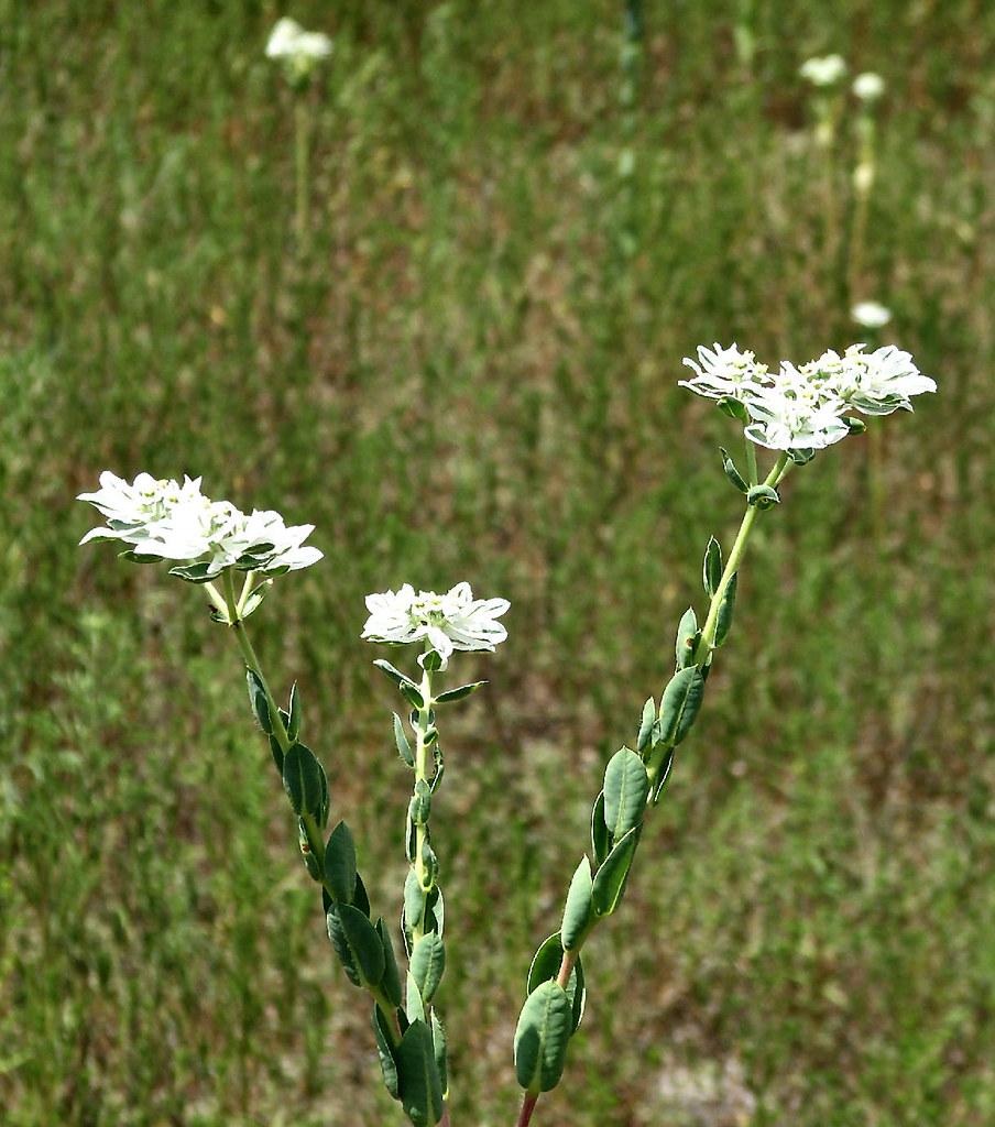 Texas White Wildflower 2 Euphorbia Bicolor Snow On The Pra Flickr