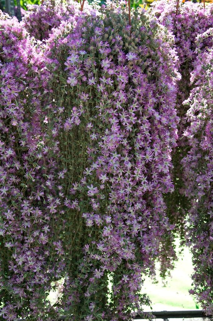 Drosanthemum hispidum Barba di Giove  Este in fiore