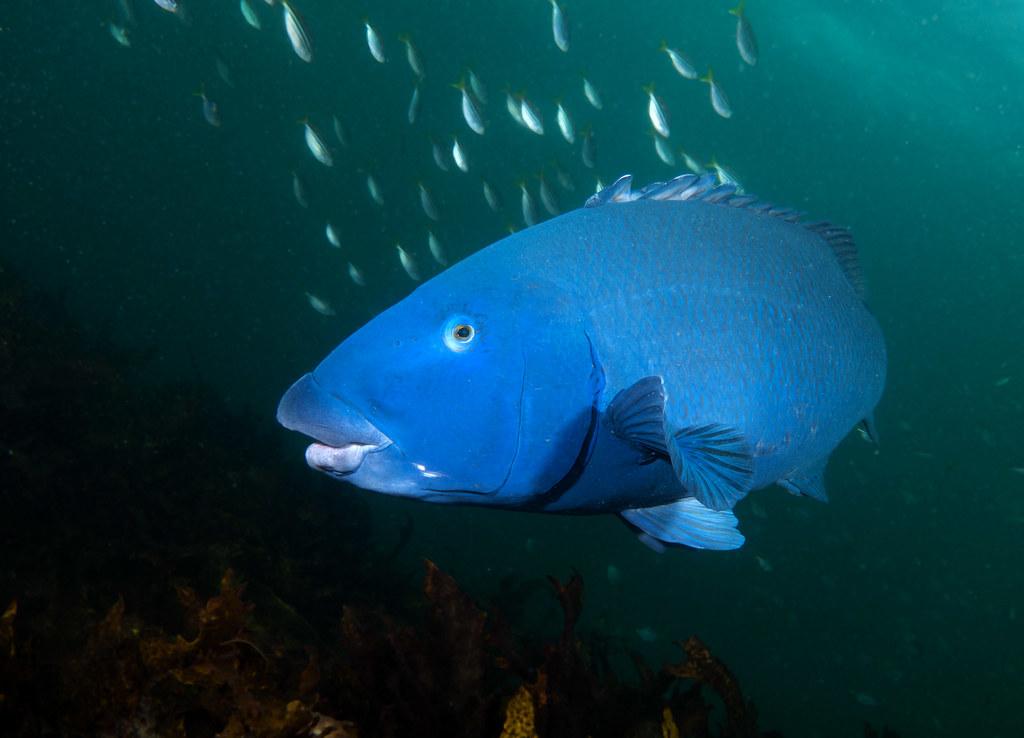 State Emblem  Blue groper  Achoerodus viridis marineexp