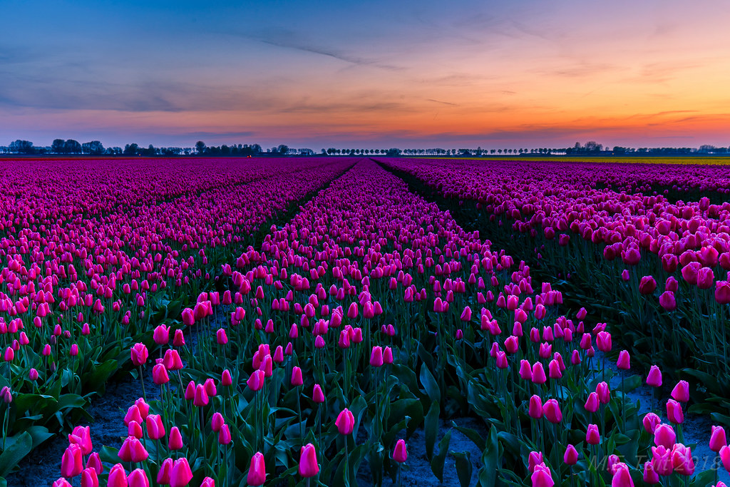 3d Wallpaper Nature Flowers Purple Tulips Flakkee Like Many Other People I Made A