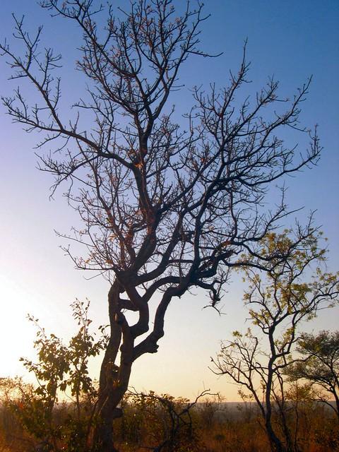 Gnarled Tree   Flickr - Photo Sharing!