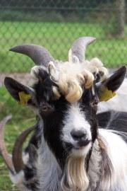 friendly billy-goat jos
