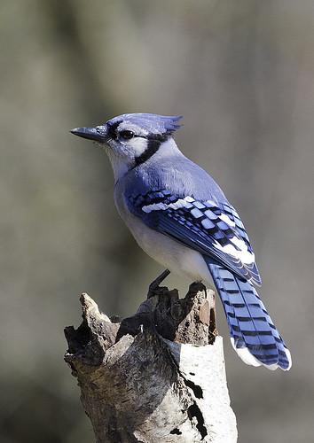 Blue Jay Bird House Plans
