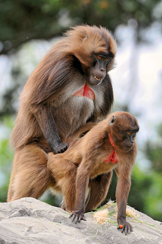 Love Is In The Air Actually Yes Baboons Are Mating