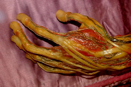 Wax Hand Tendons and Veins  From the Wax Anatomical