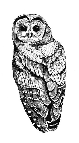 Northern Spotted Owl  Drawing for ECO shirts for pitch to