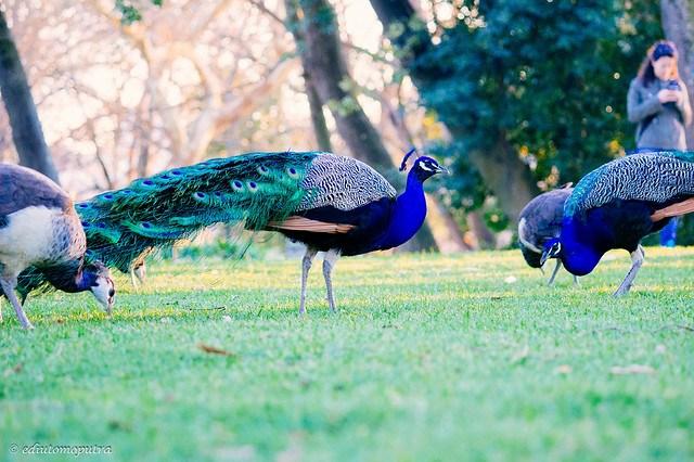Peacock, Palacio.jpg