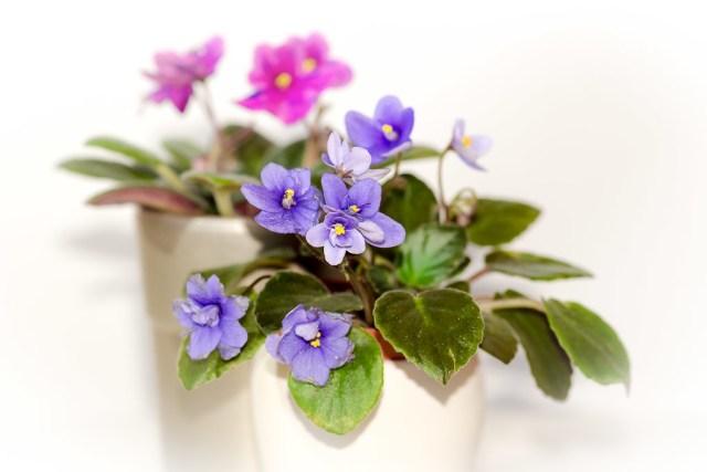 Miniature Violets