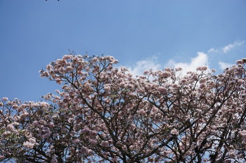 Matilisguate (Tabebuia rosa)