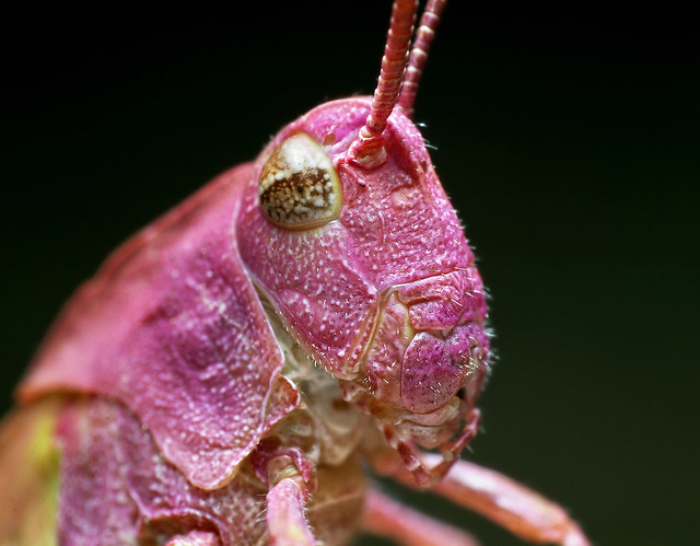 Pink Grasshopper  Ive never seen anything like this I ca  Flickr