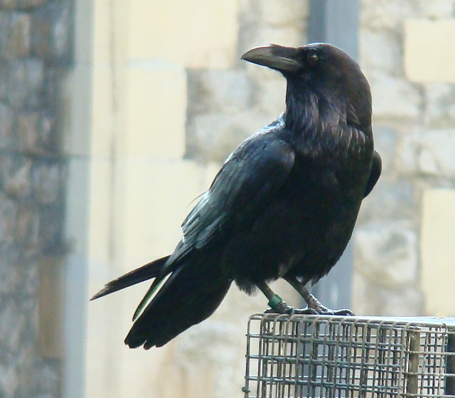 Free Fall Wallpaper Tower Raven Profile Wild Ravens Had Been Resident At The