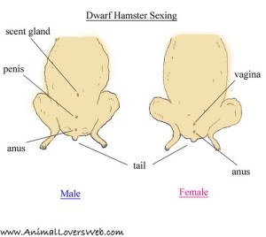 Sexing Dwarf Hamsters Diagram | This shows the dwarf