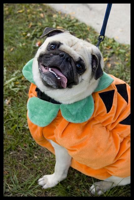 Fall Pug Wallpaper Pumpkin Pug The Pug Rescue Network Charity Pug O Ween