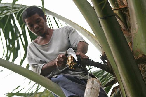 Mananggiti A Tuba Coconut Wine Gatherer Doing His