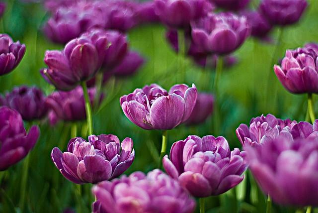 Black Black Wallpaper Purple Tulips See Big Picture Size See Version On Black