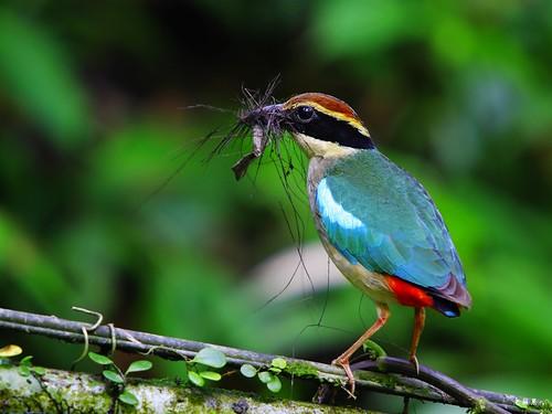 八色鳥 仙八色鶇 Pitta nympha | 宜蘭東風民宿築巢行為 | Michael Kuang (老蘋果) | Flickr