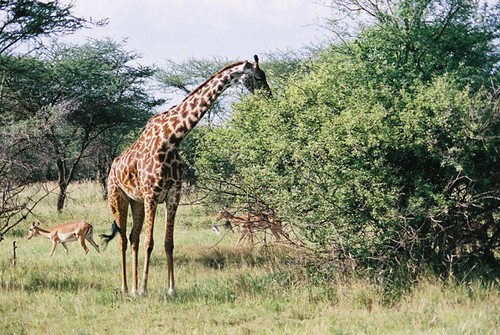 Giraffe Eating from Tree Top  Tracey Spencer  Flickr