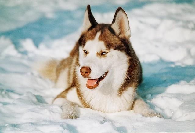 Cute 3d Wallpapers For Mobile Siberian Husky Ritm 243 Flickr