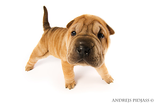 Cute Silly Wallpapers Funny Sharpei Puppy Isolated On White Background