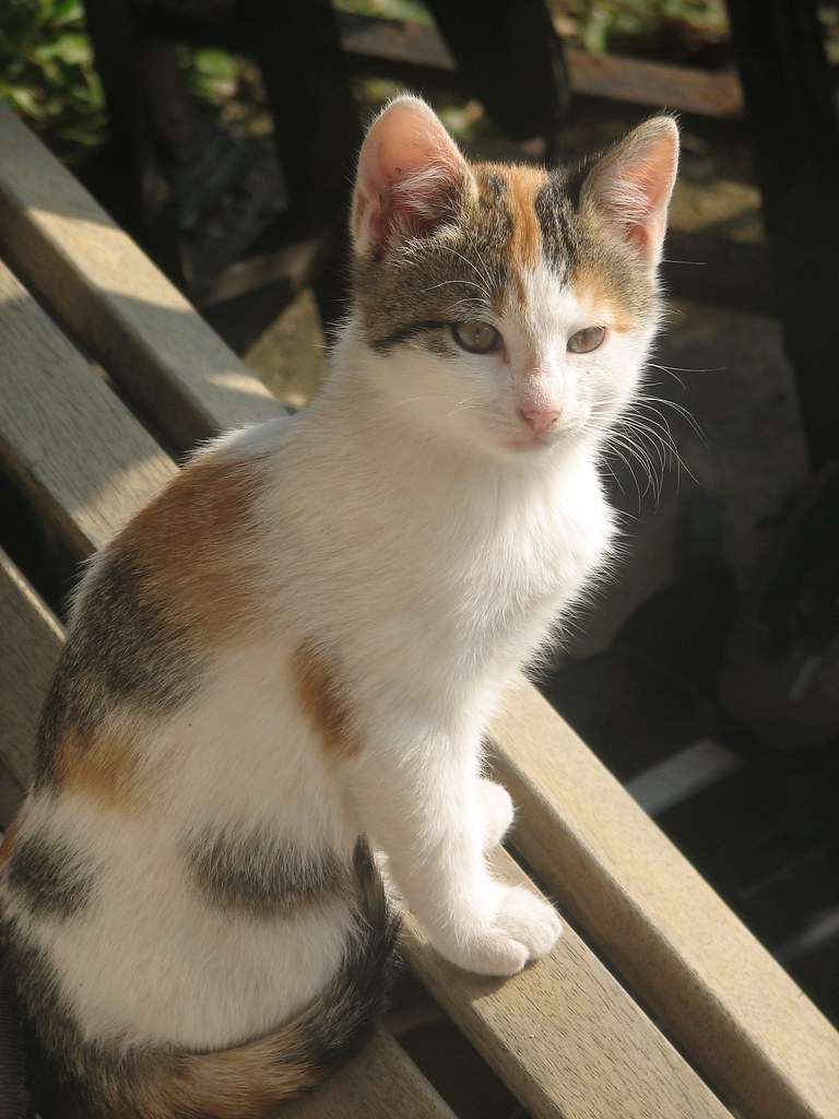 Wild calico kitten  In my parents yard are 4 cats a