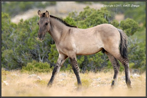 Colt at the Pryor Mountain Horse Range. Photo by Larry Ricker