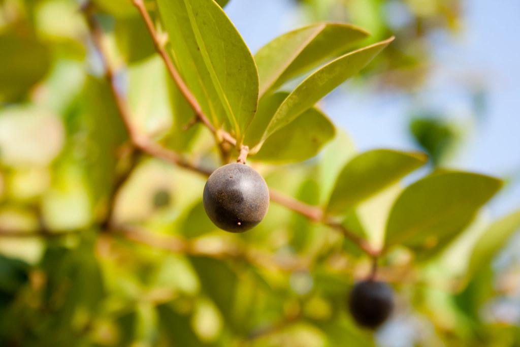 Dongrchi Kali Maina  Karvand fruit  DraconianRain  Flickr
