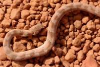 Echis ocellatus (West-african carpet viper) | Marcel | Flickr