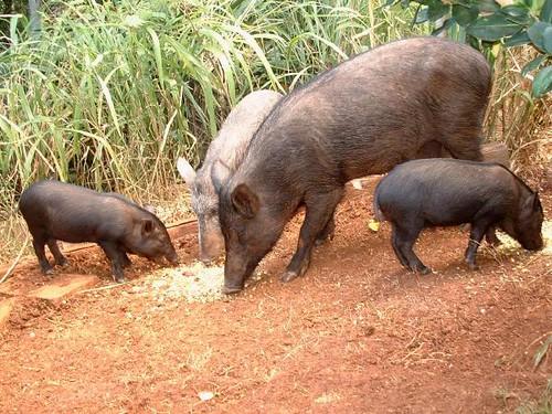 Wild Hawaiian Pigs Preheat Oven To 350 Using Small Sharp Flickr