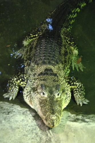 NYC Bronx Bronx Zoo World Of Reptiles Cuban Crocodi