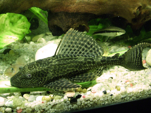 Pleco vs baby marrow...
