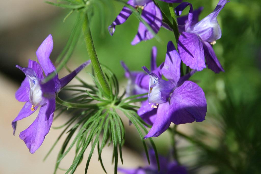 delphinium ambigua consolida ambigua  growing wild in Sout  Flickr