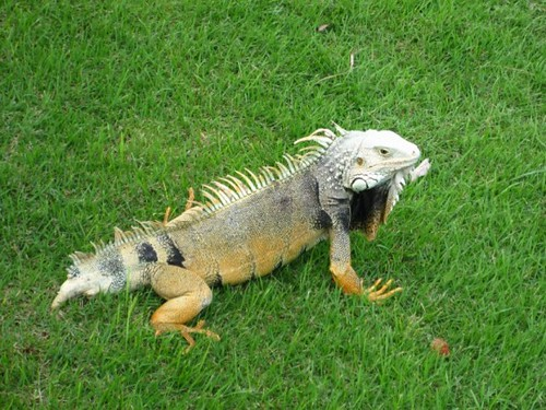 Puerto Rican iguana by Christin The Skokie Ten Flickr