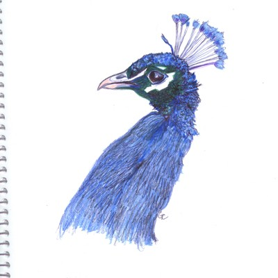 Peacock Ink Watercolor Pencil Drawing 021108 I Saw An