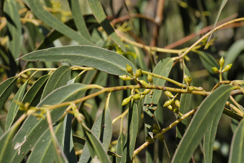Eucalyptus viminalis subsp pryoriana 0710107479  Morningt  Flickr