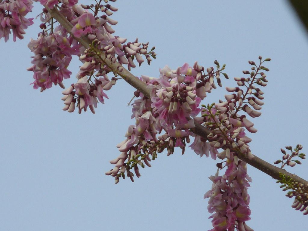 Gliricidia Sepium Fabaceae Pea Or Legume Family