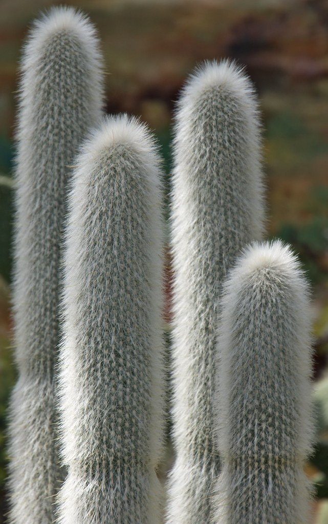 Furry Rocket Cactus  1 of 2 for today Best seen in
