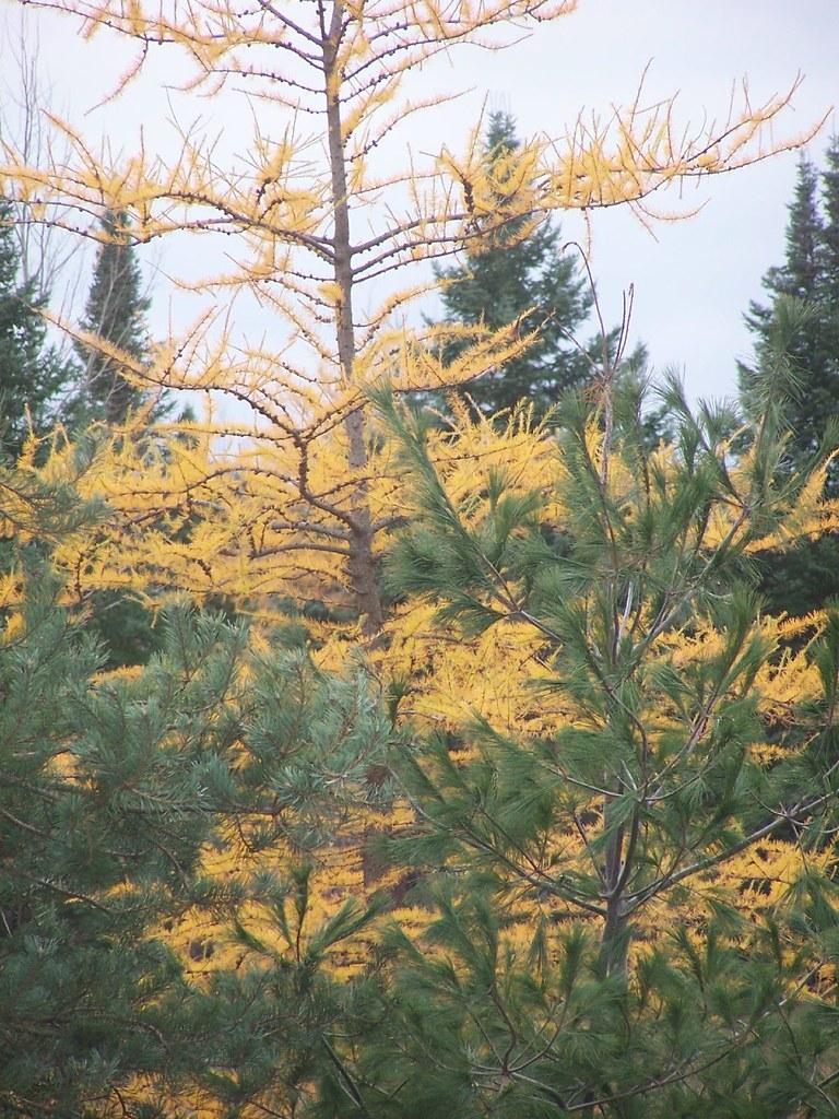 Tamarack tree Deciduous needles  Deciduous needles of