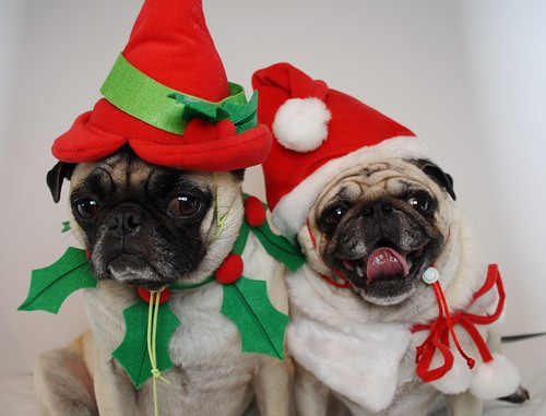 Really Cute Thanksgiving Wallpaper Pug Christmas Card 2007 This Is The Picture We Decided