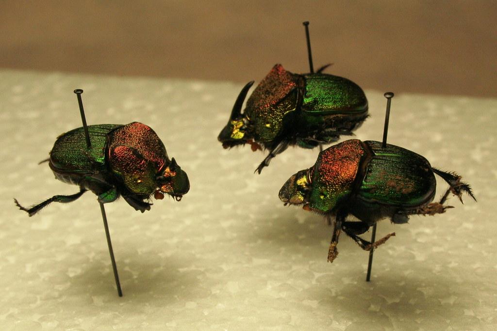 Rainbow Scarab Dung Beetle Phanaeus Vindex Minor Male