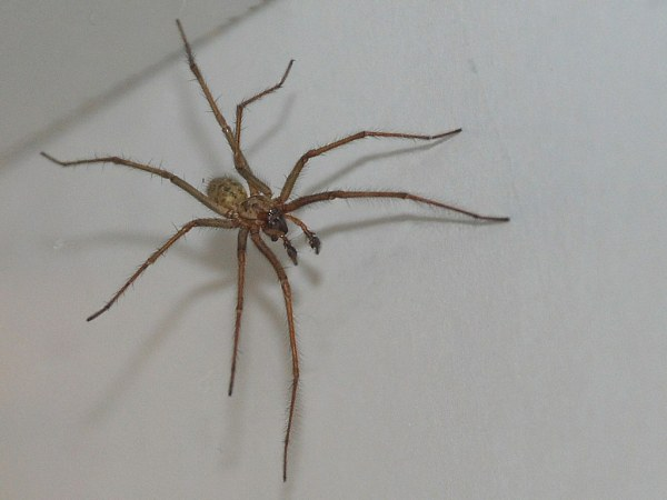 Not A Hobo Spider Copyright All rights reserved I39m