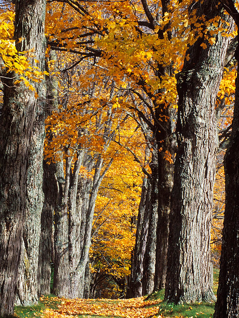 Fall Vermont Wallpaper Maple Trees Along A Path Vermont Ed Post Flickr
