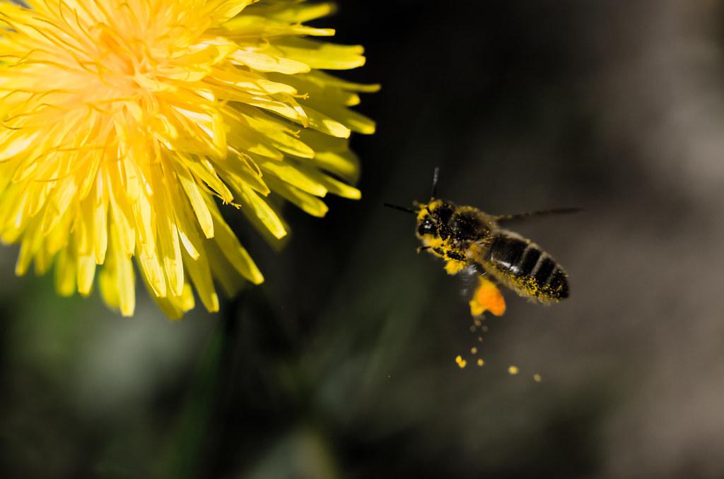 hard working bee  hard working bee is taking more nectar