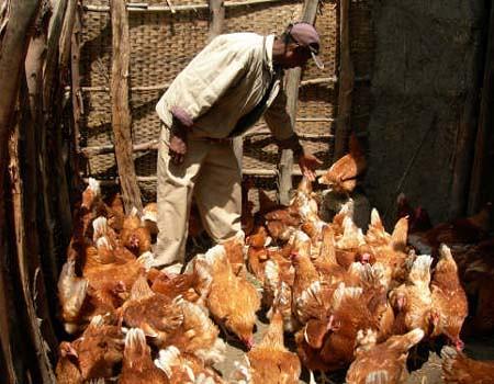 Smallscale poultry production in Ethiopia  A smallscale