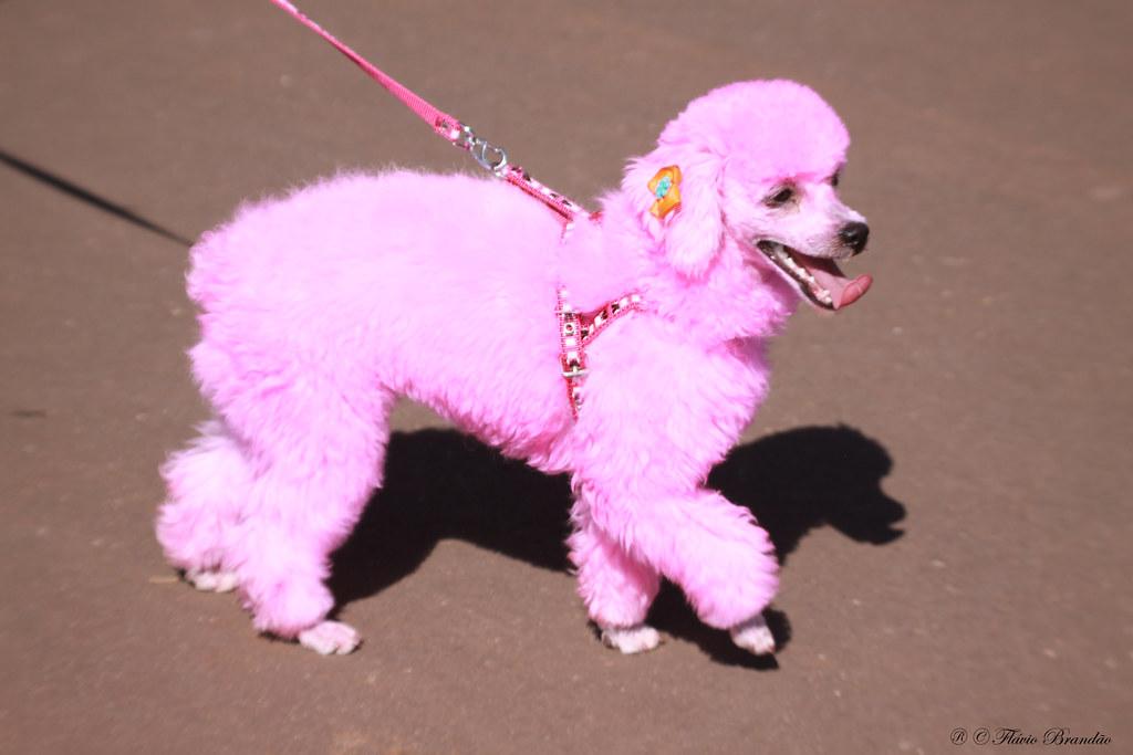 Cute Poodle Wallpaper Poodle Rosa Pink Poodle 25 07 2009 Img 2393 Fl 225 Vio