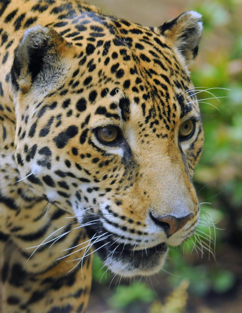 Cute Jungle Wallpaper Jaguar For My Friend Quot Tambako The Jaguar Quot Busy Day