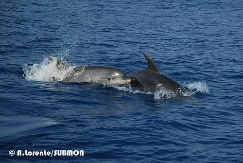 Dofí mular