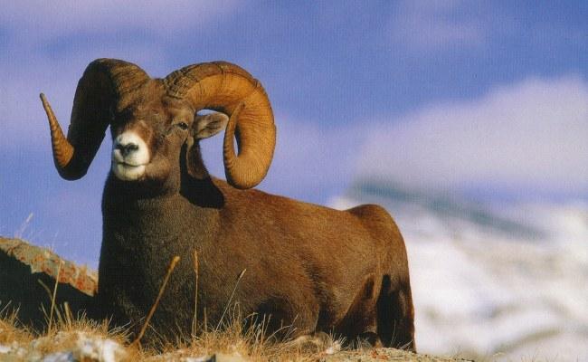 Colorado State Animal Bighorn Sheep Postcard Rocky Mountai Flickr