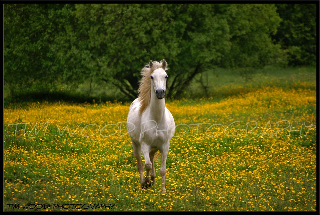 Snow Falling Gif Wallpaper Horse Galloping In Buttercup Field Over 11 500 Views